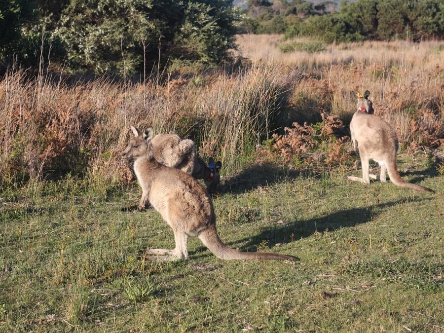 Житель Австралии разнял дерущихся кенгуру