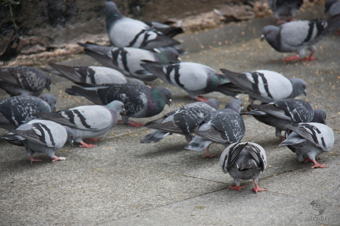 Британка получила штраф закормление голубей