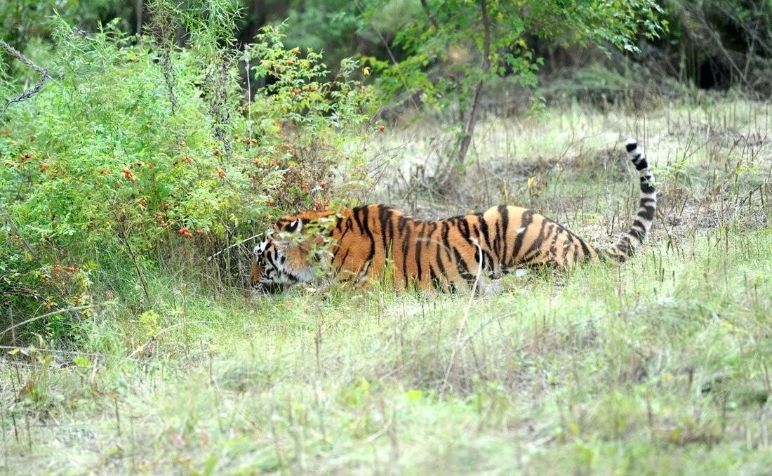ВИндии насвадьбу явился тигр-людоед