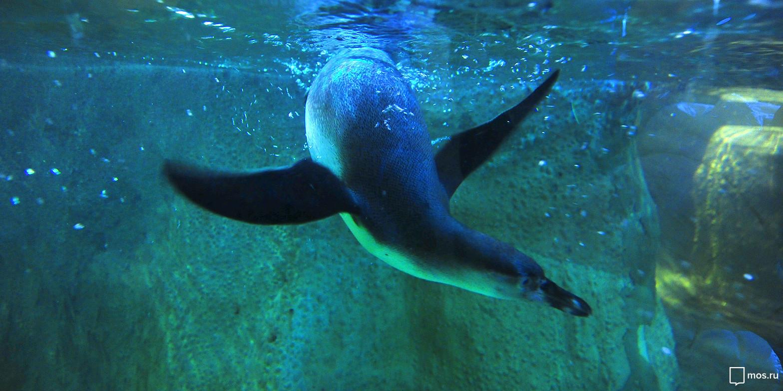 ВМосковском зоопарке поселились папуанские пингвины