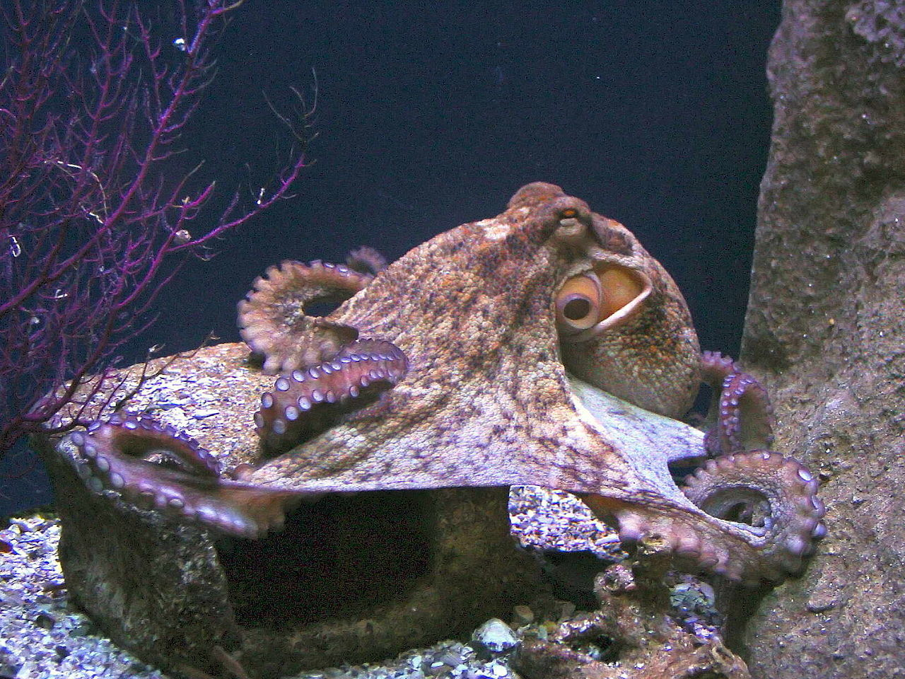 Ученые обнаружили вТихом океане новый вид большущих осьминогов