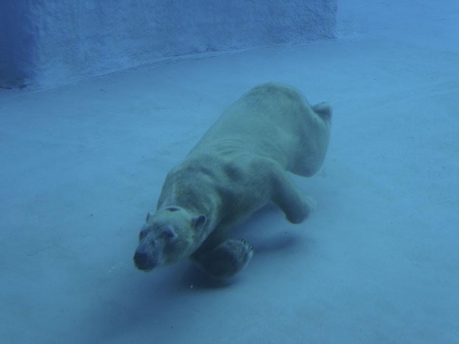 Белые медведи вЛенинградском зоопарке открыли купальный сезон