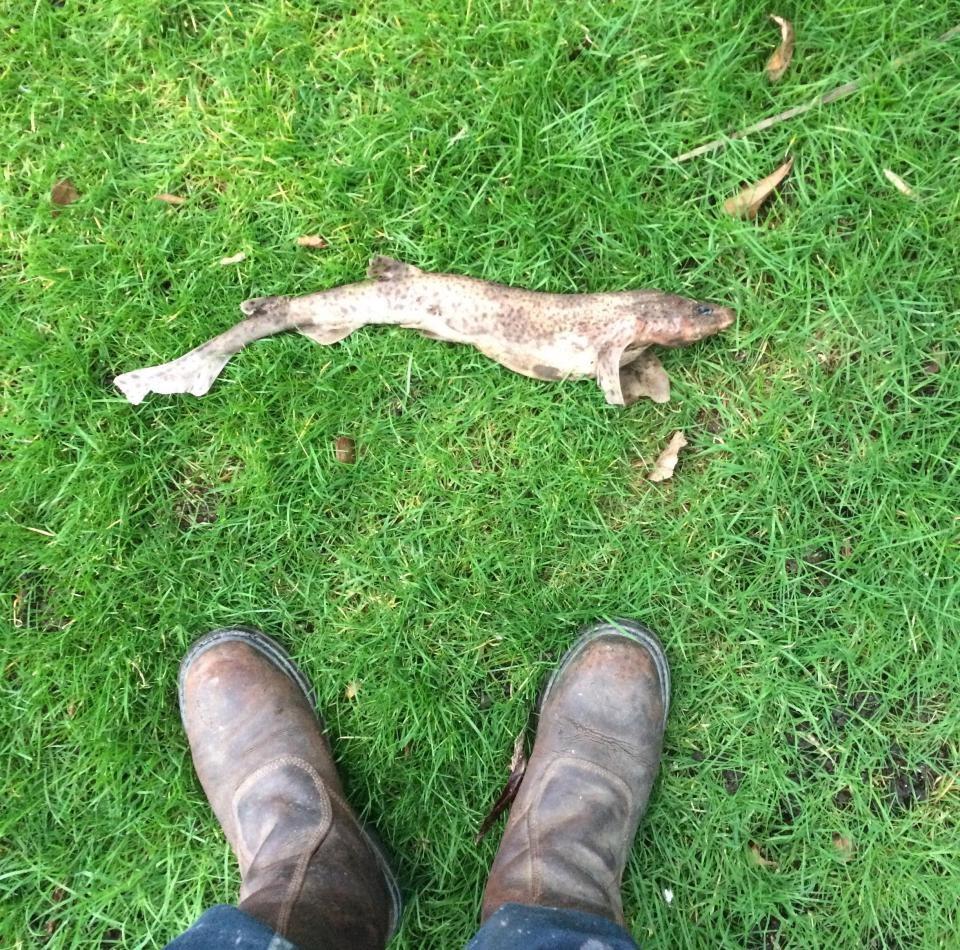Англичанин нашел всвоем саду мертвую акулу