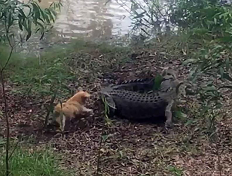 Собачка против крокодила: схватка угодила навидео
