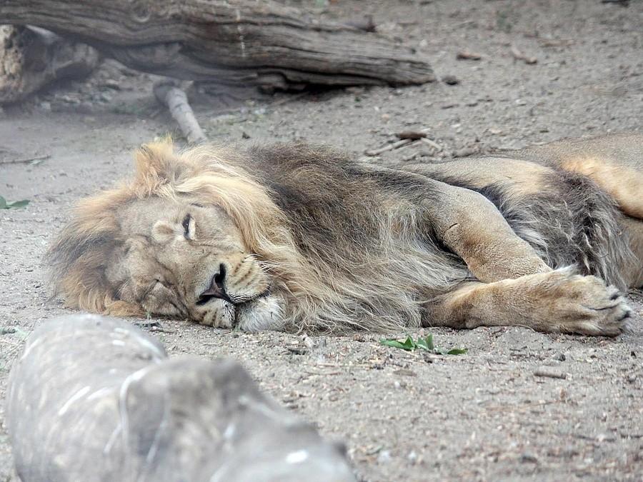 Хищный гепард запрыгнул ктуристам вмашину вовремя сафари