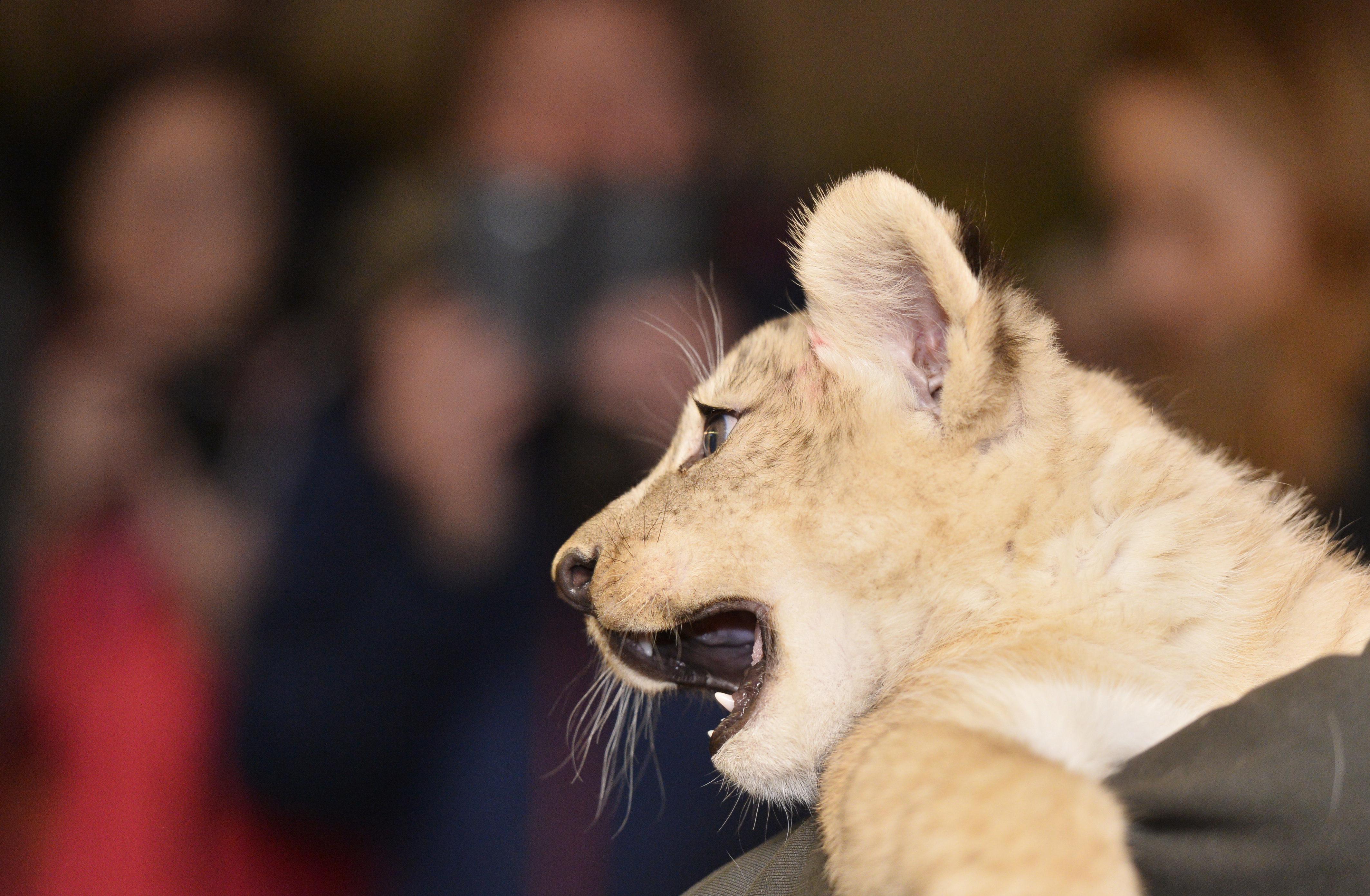 Найденные в столице России львята отправятся вЛипецкий зоопарк