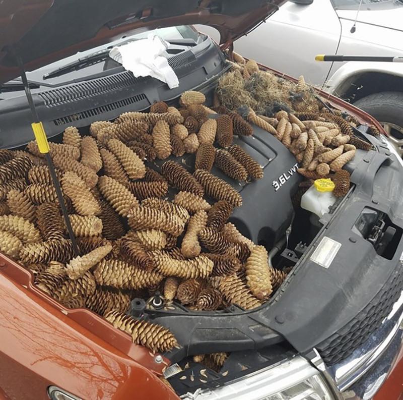 Житель америки нашел под крышкой капота автомобиля склад шишек, устроенный белками