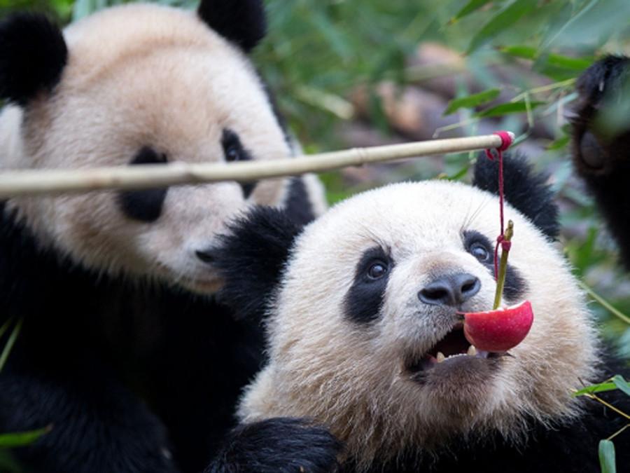 В пекинском зоопарке туристы забросали панду камнями