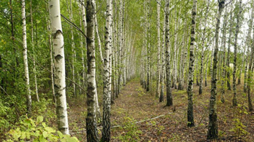Сочный промысел: В Беларуси стартовал сбор березового сока