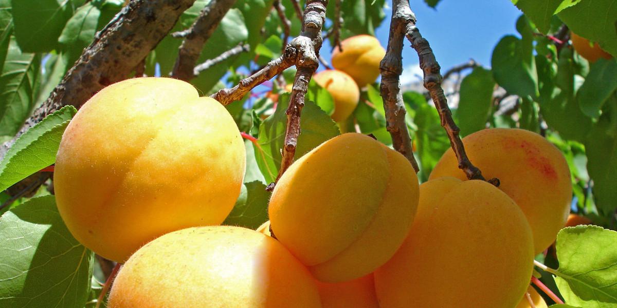Путь армянского абрикоса: от ветки к прилавку - «МИР 24»