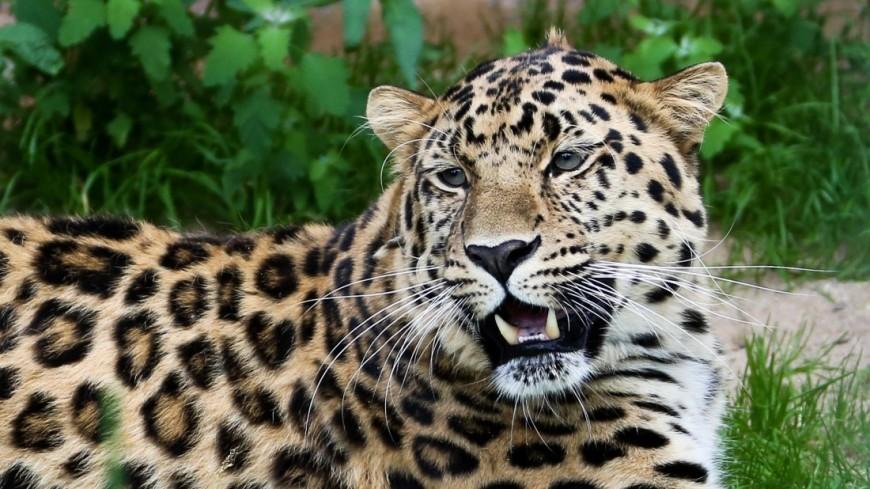 Общительный леопард поиграл с ногой туриста в Ботстване