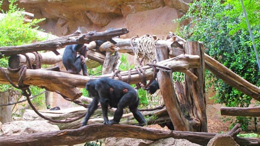 Почему «постели» шимпанзе свежее и чище, чем у людей